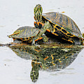 Slider Turtle Reflections by Dan Sproul