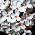 Small White Flowers Digital by Ramon Martinez