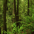 Smith River Redwoods Horizontal by TL Mair