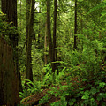 Smith River Redwoods by TL Mair