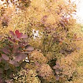 Smoke Bush  by Sharon Duguay