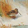 Snipe In The Rushes, 1901  by Archibald Thorburn