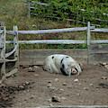 Snoozing Hog by Ruth H Curtis