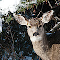Snow-dusted Female Mule Deer by Cascade Colors