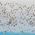Snow Geese And Canada Geese by TL Mair