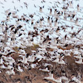 Snow Geese Chaos by Jean Noren