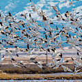 Snow Geese Coming In by TL Mair