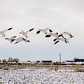 Snow Geese by TL Mair