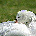 Snow Goose 5031-022419 by Tam Ryan