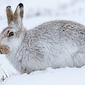 Snow Hare In Winter by Arterra Picture Library