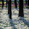 Snowdrop Carpet by Framing Places