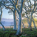 Snowgums At Navarre Plains, South Of by Rob Blakers
