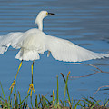 Snowy Egret 4467-021619 by Tam Ryan