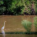 Snowy Egret In Cameron Run by Lora J Wilson