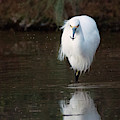 Snowy Egret With Fish 2831-012819 by Tam Ryan