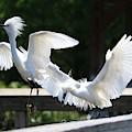 Snowy Egrets Drama by Carol Groenen