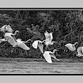 Snowy Egrets Flight 4110-101218-4cr-bw by Tam Ryan