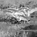 Snowy Egrets Three 0743-111718-3cr-bw by Tam Ryan