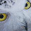Snowy Owl by Raymond Ore
