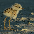 Snowy Plover Chick by Meg Rousher