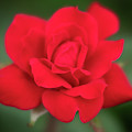 Soft Red Rose by Todd Henson