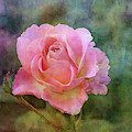 Soft Rose 5532 Idp_2 by Steven Ward