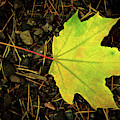 Solitary Yellow Leaf by Jean Noren