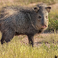 Solo Javelina by David Cutts