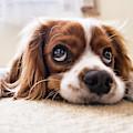 Spaniel Puppy Dwp2785074 by Dean Wittle