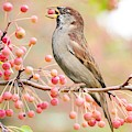 Sparrow Eating Berries by Top Wallpapers