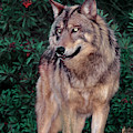 Spectacular Gray Wolf Canis Lupus Wildlife Rescue by Dave Welling