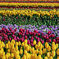 Spectacular Rows Of Colorful Tulips by Garry Gay