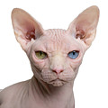 Sphynx Cat, 1 Year Old, In Front Of by Eric Isselee