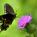 Spicebush Swallowtail Butterfly by Christina Rollo