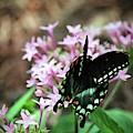 Spicebush Swallowtail  by Cynthia Guinn