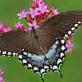Spicebush Swallowtail Papilio Trollus by Dave Welling