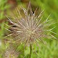 Spiky Plant Pulsatila Halleri by Victor Lord Denovan