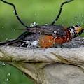 Splish-splash I Was Taking A Bath - American Robin by Cindy Treger