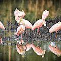 Spoonbill Reflection by Scott Hansen