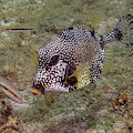 Spotted Trunkfish by Jean Noren