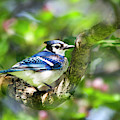 Spring Blue Jay by Christina Rollo