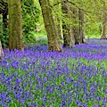 Spring Bluebell Woodland by Martyn Arnold