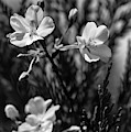 Spring Cherry Bw  by Keith Smith