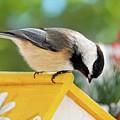 Spring Chickadee by Christina Rollo