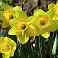 Spring Daffodils by Christina Rollo