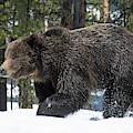 Spring Grizzly Bear In Yellowstone National Park 03 by Bruce Gourley