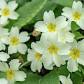 Spring Primroses In Close Up by Mark Hunter