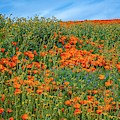 Spring Wildflowers Of The 2019 Superbloom by Lynn Bauer
