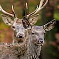 Stag And Hind by Arterra Picture Library