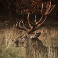Stag by Chris Boulton